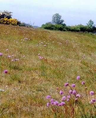 Grasnelken verwandeln ihren Wuchsort in ein Meer von rosafarbenen Blütentupfern. (Foto: http://www.nationalpark-vorpommersche-boddenlandschaft.de/)