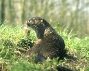 Nur selten bekommt man den heimlich lebenden Fischotter zu Gesicht. (Foto: http://www.nationalpark-vorpommersche-boddenlandschaft.de/)