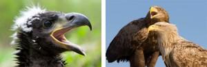 Vom Jungvogel zum ausgewachsenen Adler (Foto: http://www.nationalpark-vorpommersche-boddenlandschaft.de/)