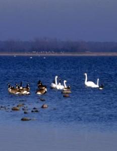 Kanadagänse und Singschwäne rasten im Bodden. (Foto: http://www.nationalpark-vorpommersche-boddenlandschaft.de/)